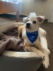 Our small fan dog sits on his bed wearing a blue bandanna. There is an AC unit on the wall behind him.